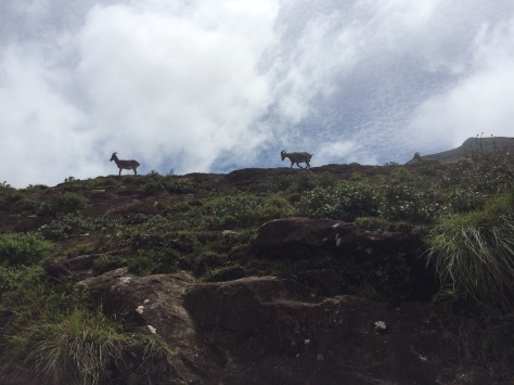 Nilgiri Tahr at Eravikulam Munnar - somecolorsoflife